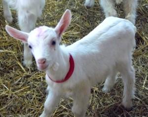 Récit pour la jeunesse - La chèvre du sacrifice
