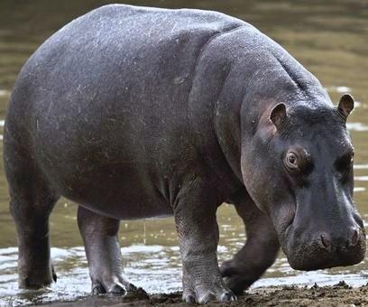 Récit d'Afrique pour les ado - hippopotame sortant de l'eau