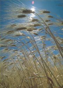 Récit pour le catéchisme - le blé des hosties