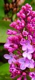 Joie de la Résurection du Christ racontée aux enfants - Lilas roses fleuri pour Pâques