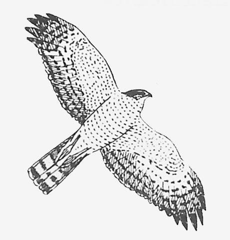 Coloriage epervier rapace et maintenant une histoire - Dessin oiseau en vol ...