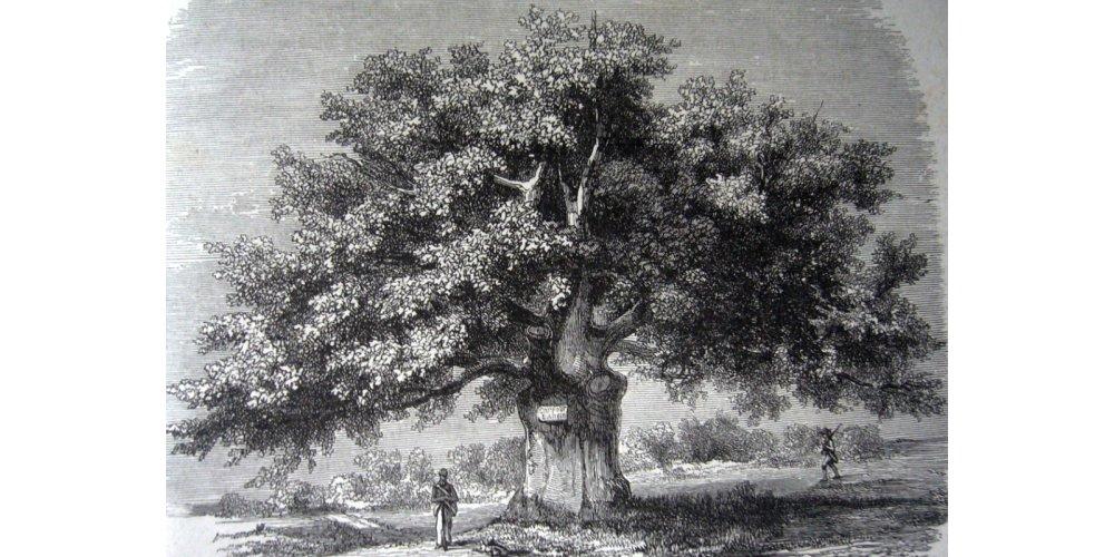 Histoire de l'Orléanais : Chêne de l'Évangile à Chanteau
